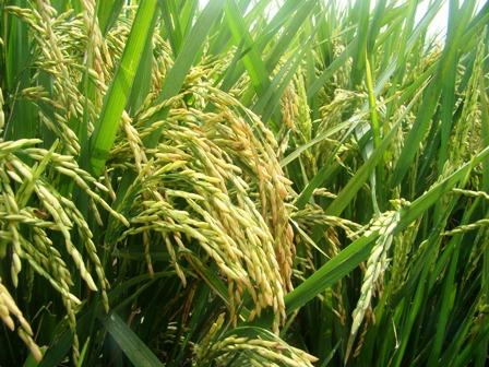 Produccion-de-arroz-cae-en-un-30%-por-plagas-y-sequia