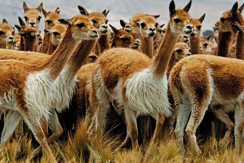 Sentencian-a-cuatro-anos-de-carcel-a-dos-cazadores-de-vicunas-en-Potosi
