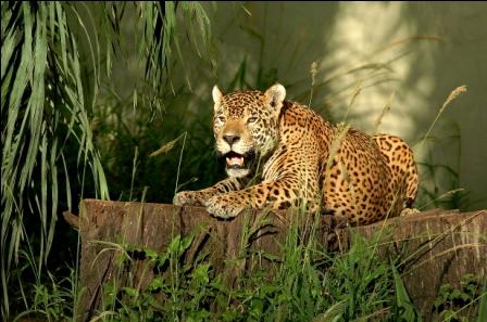 Colocan-trampas-para-el-jaguar-de-la-zona-norte