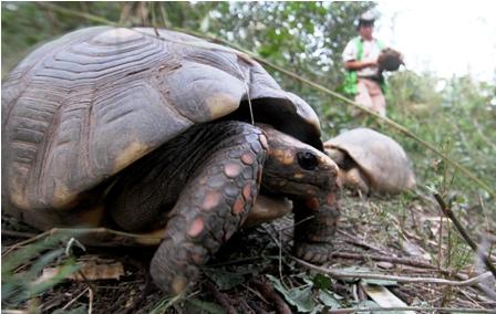 Llevan-20-tortugas--a-curichi-La-Madre