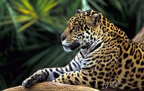 Desde-2014-fueron-interceptados-800-colmillos-de-jaguares-que-tenian-como-destino-China-