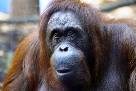 Orangutan-exhibe-talento-musical-en-el-zoologico
