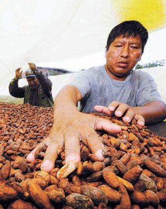 Produccion-de-cacao-desciende-un-23%