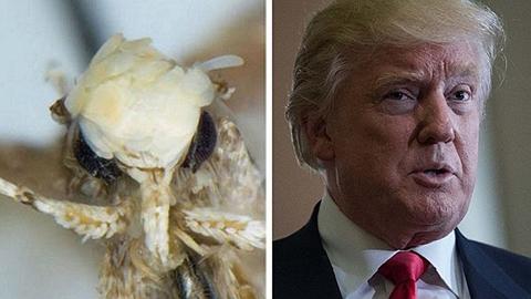 Una-polilla-fue-bautizada-Trump-por-su-peinado-singular