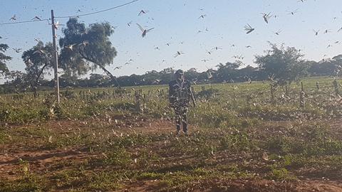 Plaga-de-langostas-en-Cabezas-pone-en-alerta-a-los-productores