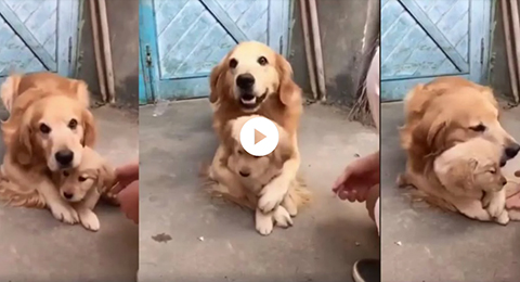 VIDEO:-El-gesto-protector-de-una-perrita-que-se-hizo-viral