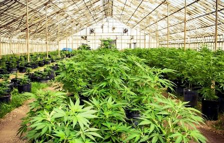 California-legaliza-negocio-de-la-marihuana