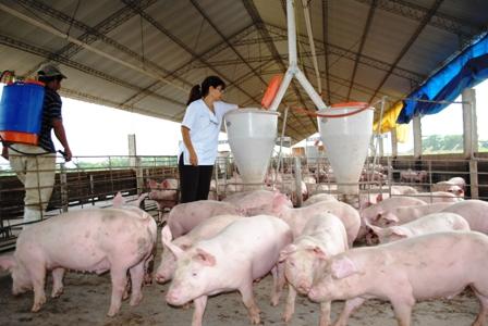 Produccion-de-cerdo-aumenta-por-fin-de-ano