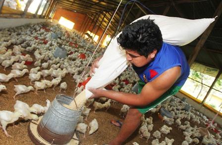 El-60%-de-la-produccion-avicola-del-pais-lo-acapara-Santa-Cruz