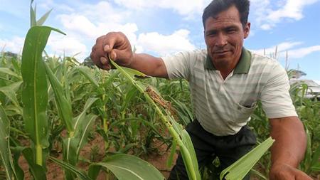 Se-registra-perdida-de-$us-180-millones-en-la-produccion-agricola-por-sequia-y-plagas