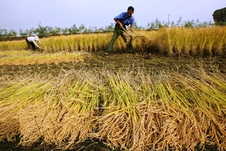 Apuntan-a-cosechar-340-mil-toneladas-de-arroz-