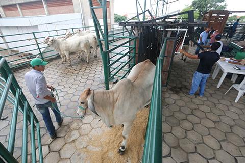 Inicia-la-recepcion-de-bovinos-cebuinos-para-Agropecruz-2017