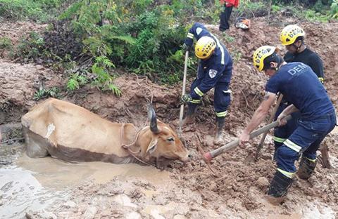 Rescatan-a-una-vaca-atrapada-en-el-barro-en-Porongo
