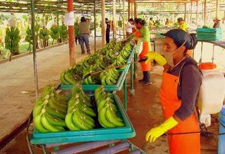 Productores-de-banano-del-Chapare-lograron-$us-35-millones-de-ingresos-en-2016