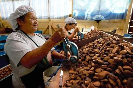 Ref. Fotografia: Producción. Este año los productores de castaña entraron en crisis lo que provocó cierre de empresas y desempleo.