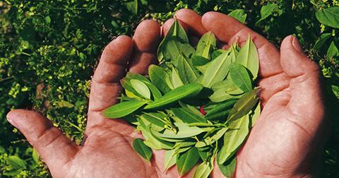 Los-cultivos-de-Coca-incrementaron-un-14%-segun-informe-de-UNODC