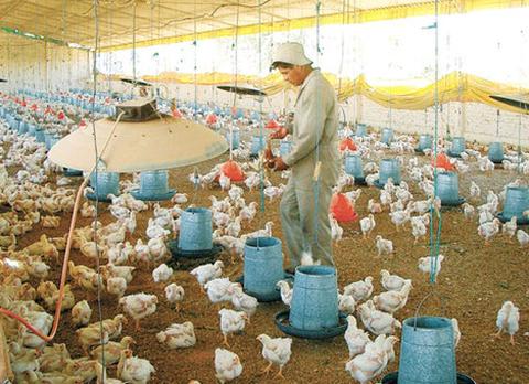 Avicultores-aseguran-que-intermediarios-incrementan-el-precio-de-la-carne-de-pollo-en-Sucre