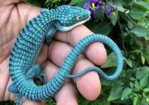 El--dragoncito-azul-:-una-especie-mexicana-en-peligro-de-extincion