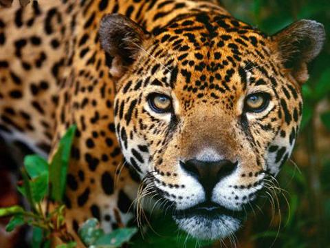 Ciudadanos-chinos-siguen-dilatando-el-proceso-por-el-trafico-de-colmillos-de-jaguar