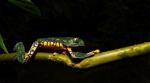 Encuentran-nueva-especie-de-rana-en-el-Parque-Nacional-Madidi