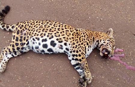 Chofer-que-atropello-a-una-jaguar-prenada-debe-pagar-$us-24.800-como-sancion-