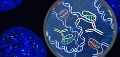 Identifican-una-nueva-forma-de-ADN-en-las-celulas-humanas-vivas