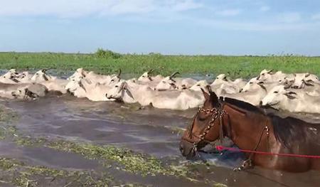 Lluvias-inundan-parte-de-la-provincia-Cercado-y-causa-perdidas-en-ganado-vacuno