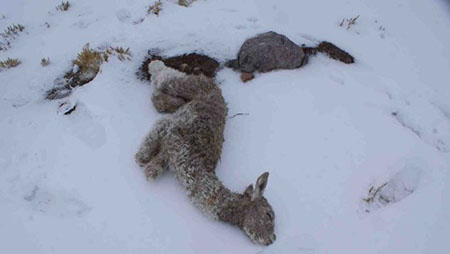 Nieve-de-hasta-30-centimetros-cubrio-el-municipio-de-Calacoto-y-mato-camelidos