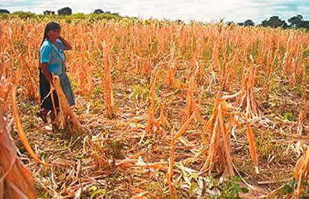 IBCE:-70%-de-cultivos-de-granos-son-afectados-por-la-sequia