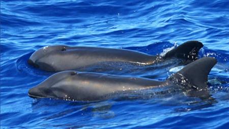 Cientificos-descubren-primer-hibrido-de-delfin-ballena-cerca-de-las-costas-de-Hawai