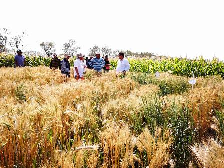 Investigan-variedades-de-trigo-tolerantes-a-Pyricularia