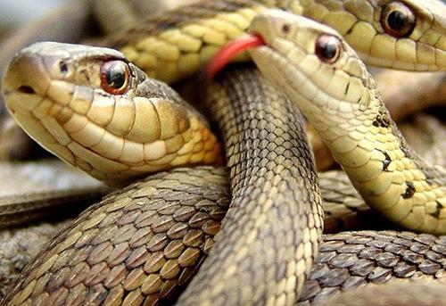 -Encuentran-carne-de-serpiente-en-una-Chifa-de-La-Paz