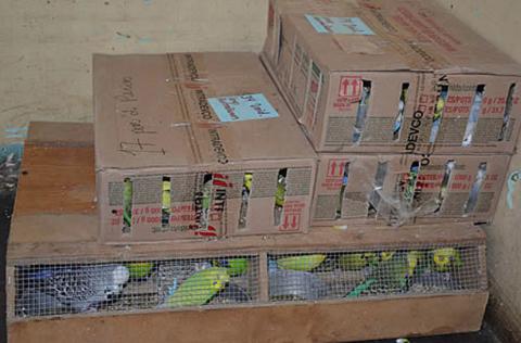 Rescatan-500-aves-exoticas-en-La-Paz