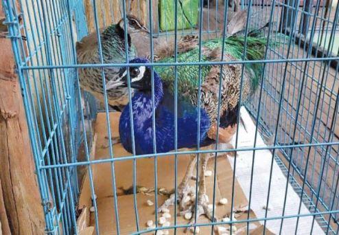 Trasladan-a-500-aves-exoticas-rescatadas-a-centro-de-custodia-en-La-Paz