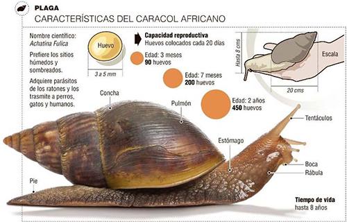 Preocupa-la-aparicion-del-caracol-gigante-africano
