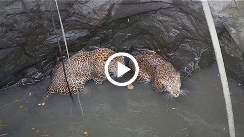 Dramatico-rescate-de-dos-leopardos-que-cayeron-a-un-pozo-tras-pelea-por-territorio