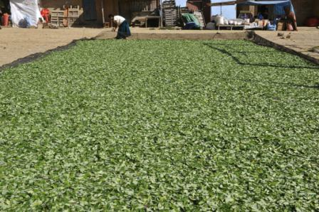 Critican-ley-que-aumenta-el-cultivo-legal-de-coca