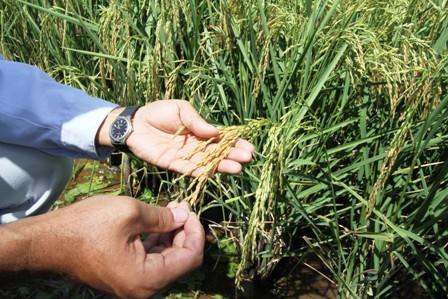 Innovacion,-presentan-nueva-variedad-de-arroz