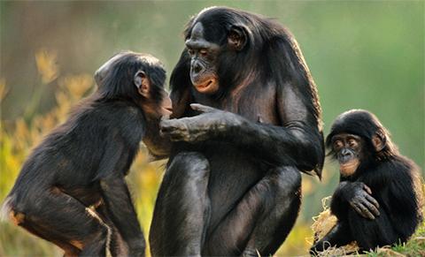 Cientificos-crean-monos-transgenicos-con-genes-de-cerebro-humano