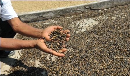 El-cafe-boliviano-es-aclamado-por-sus-atributos-de-calidad-a-nivel-internacional