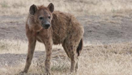 Hienas-arrastran-a-un-anciano-desde-su-cama-y-lo-mutilan-hasta-matarlo