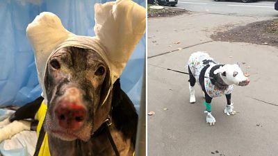 Una-perra-embarazada-intenta-salvar-a-su-duena-del-fuego,-sufre-quemaduras-graves-y-se-desmaya-en-el-edificio-en-llamas