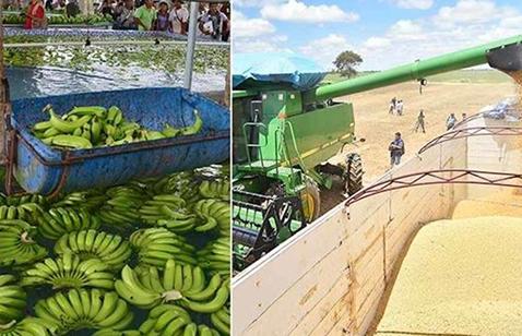 Buscan-reactivar-proyecto-bananero-en-Alto-Beni
