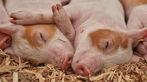 EE.UU.-autoriza-el-uso-de-cerdos-transgenicos--sin-alergenos-