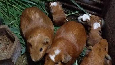 Cuba-incentiva-el-consumo-de-carne-de-Curiel-como-alternativa-alimentaria