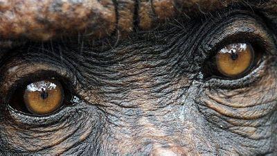Instalan-un-implante-en-el-cerebro-de-dos-monos-que-les-permite--ver--sin-usar-los-ojos