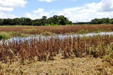 Las-lluvias-dejan-graves-danos-en-cultivos-