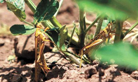 Langostas-voladoras-causan-danos-a-cultivos-agricolas-en-Villa-Montes