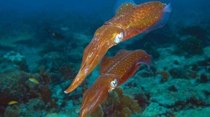 Descubren-en-calamares-la-capacidad-de-editar-sus-genes