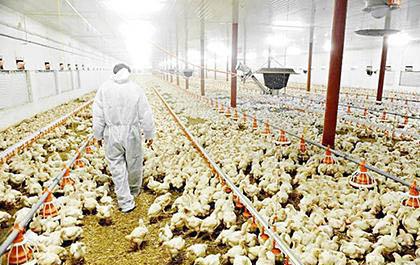 Avicultores-nacionales-anticipan-desabastecimiento-de-pollo-en-los-siguientes-meses
